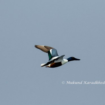 Northern Shevoler in Flight