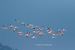 Greater Flamongos in Flight