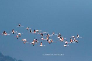 Greater Flamongos in Flight